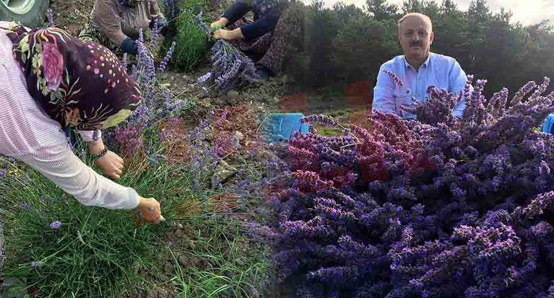 Akçakya Mahallesinde Lavanta'nın ilk hasadı yapıldı... Yağının kilosu 40 Euro!