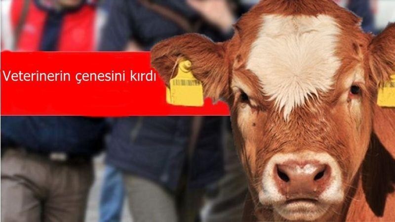 Aşı yapılan inek veterinerin dişi ve çenesini kırdı