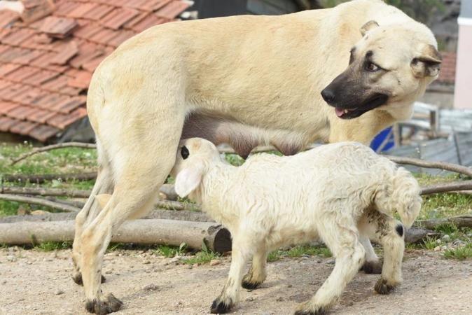 Bursa'da kuzunun süt annesi çoban köpeği