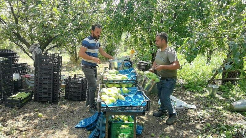 Bursa'da armut hasadı çiftçiyi memnun etti