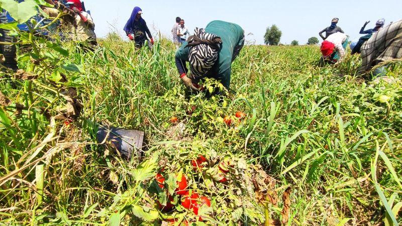 Bursa'da domates hasadı başladı