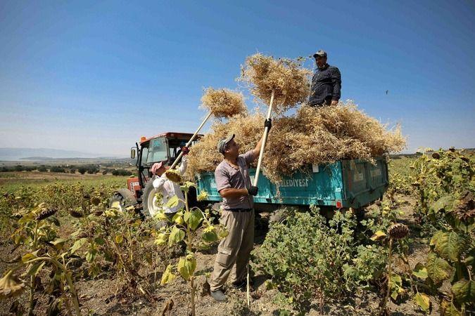 Nilüfer Belediyesi yerli tohumdan doğal nohutlar hasat etmeye devam ediyor. Belediye, Karacaoba Mahallesi'nde S.S. Nilüfer Tarımsal Kalkınma Kooperati