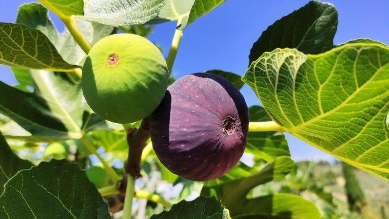 Avrupa'nın ve dünyanın bir çok ülkesine ihraç edilen siyah incir şimdi de Çin pazarına girmeye hazırlanıyor. İngiltere veliahdı William'ın eşi Cambrid