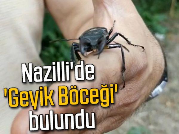 Nazilli'de 'Geyik Böceği' bulundu