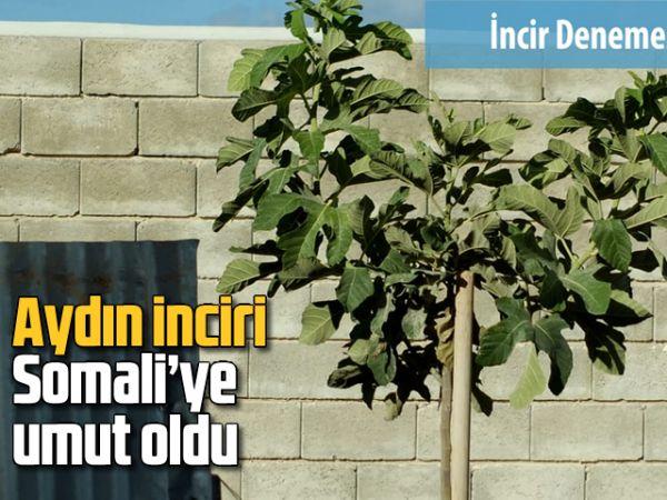 Aydın inciri Somali'ye umut oldu