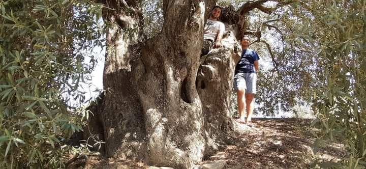 Kutsal kitapların ölmez ağacı zeytin ele alındı