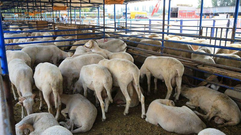 Satılamayan Kurbanlık Hayvanları Et ve Süt Kurumu (ESK) Alacak