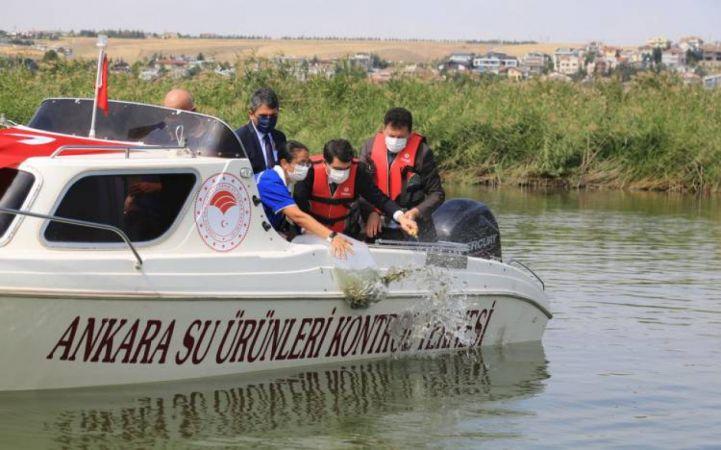 Ankara'da 100 bin sazan Mogan Gölü'ne bırakıldı