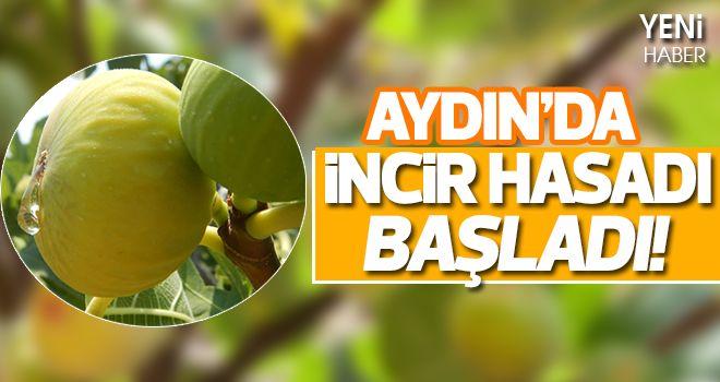 Aydın'da incir hasadı başladı!