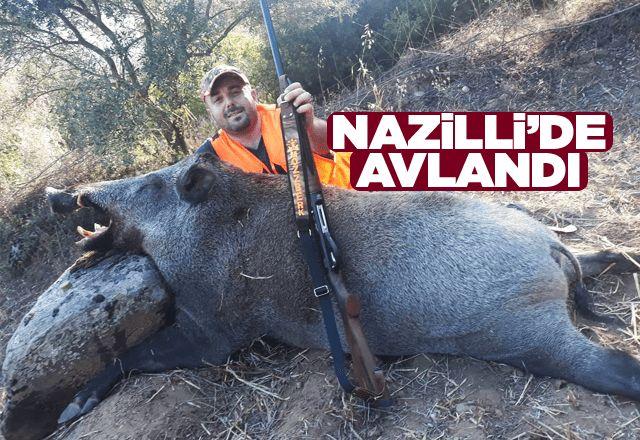 300 kiloluk yaban domuzu avlandı