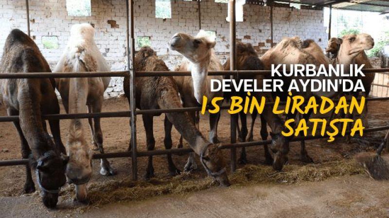 Kurbanlık develer Aydın'da 15 bin liradan satışta