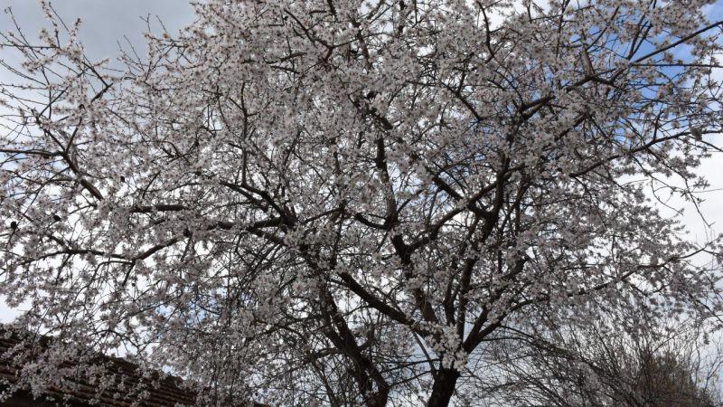 Germencik'te badem ağaçları çiçek açtı