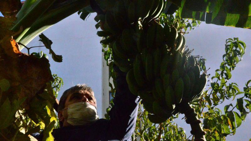İncirliova'da bahçesine muz ağacı fidanı diken çiftçi, ilk ürününü topladı