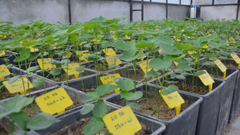 Aydın'da kuraklığa dayanıklı pamuk tohumu geliştirildi