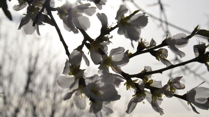 Aydın'da badem ağaçları yalancı bahara inandı