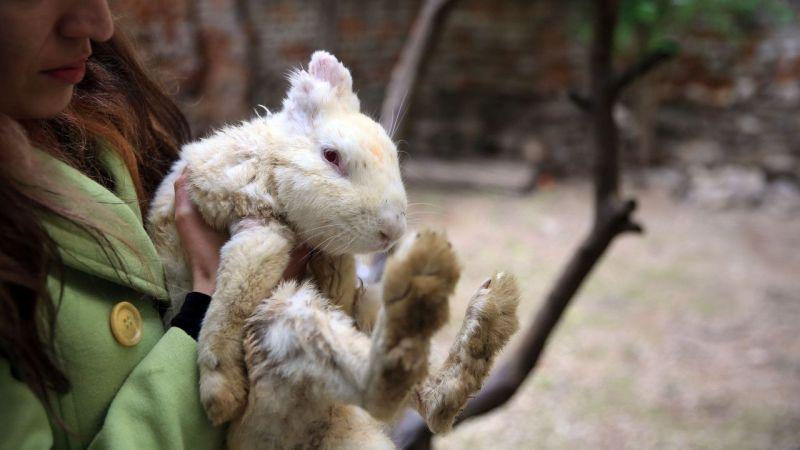 """Aydın'da iki hayvansever, yaralıyken sahiplenip hayata bağladıkları tavşan """"Zulu""""nun hikayesini anlattı"""