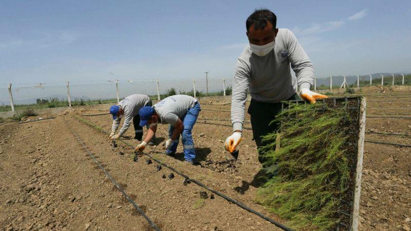 Büyükşehir Aydınlı çiftçilere dağıtılacak kuşkonmazların dikimini yaptı