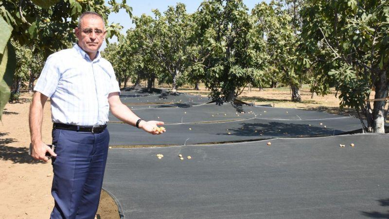 Aydın'da hasatta file örtü kullanımı ile incirde kalitenin korunması amaçlanıyor