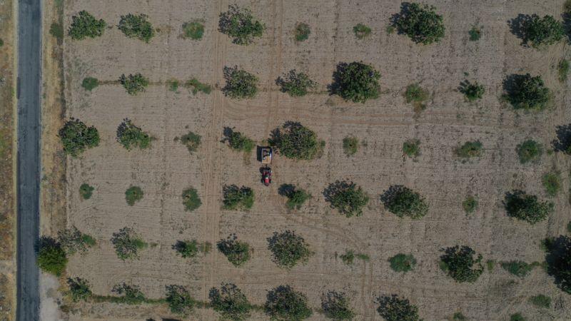 Dünya sofralarını süsleyen Aydın incirinde hasat heyecanı