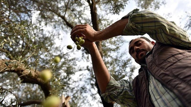 Aydın'a 3 milyon lira zeytin desteği