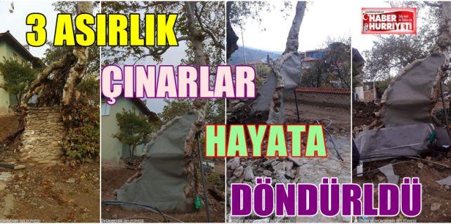 """Asırlık """"yaşlı"""" çınar ağaçlarını korumak ve bakımını yapmak için bir süredir yoğun bir program uygulayan İzmir Büyükşehir Belediyesi, 14 ilçede alkışları hak eden bir kurtarma operasyonuna imza attı."""