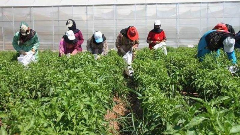 Fotoğraf:©FAO /FAO önderliğinde yürütülen Şanlıurfa'daki projenin ikinci fazında üretilen ürünler tarladayken