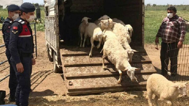 İzmir'de koyun hırsızları için dedektif gibi çalışma