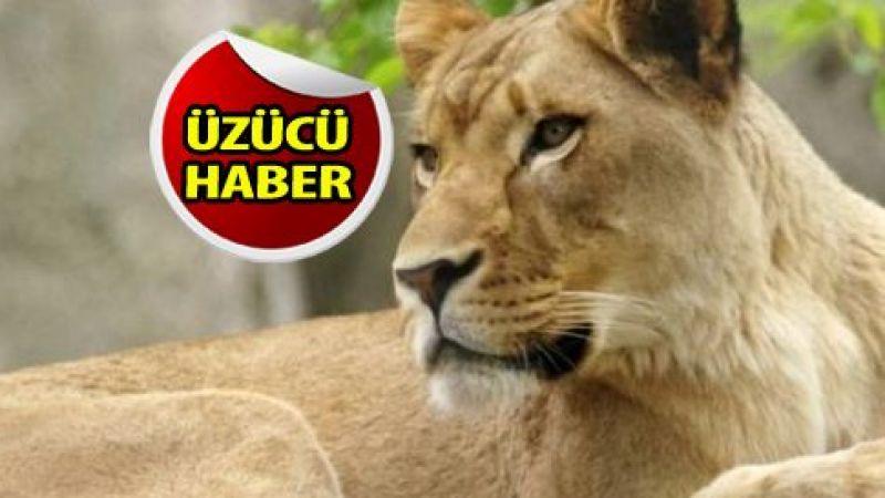 Dişi aslan Covid-19'dan öldü