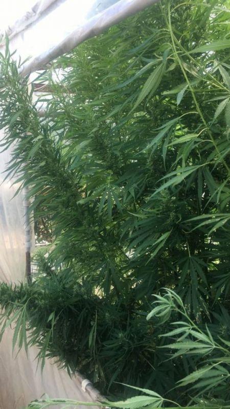 Uyuşturucu bitki serasına baskın