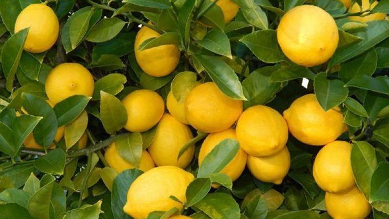 Limon REKOR kırıyor