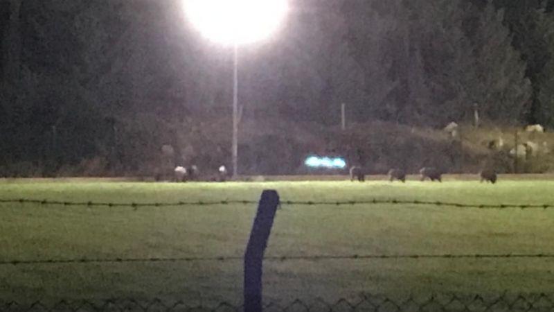 Datça'da domuzlar futbol sahasına girdi