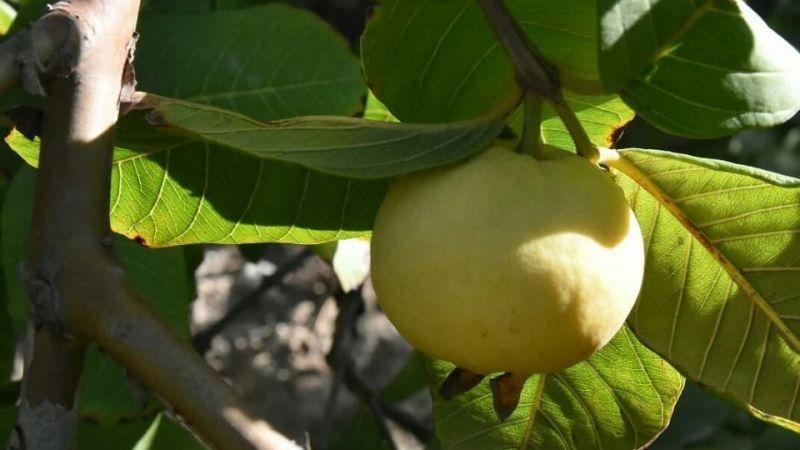 Vitamin deposu guava gözde meyve oldu