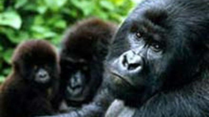 Gorillere korona bulaştı