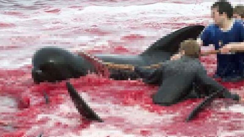 Faroe Adalarında balina katliamı