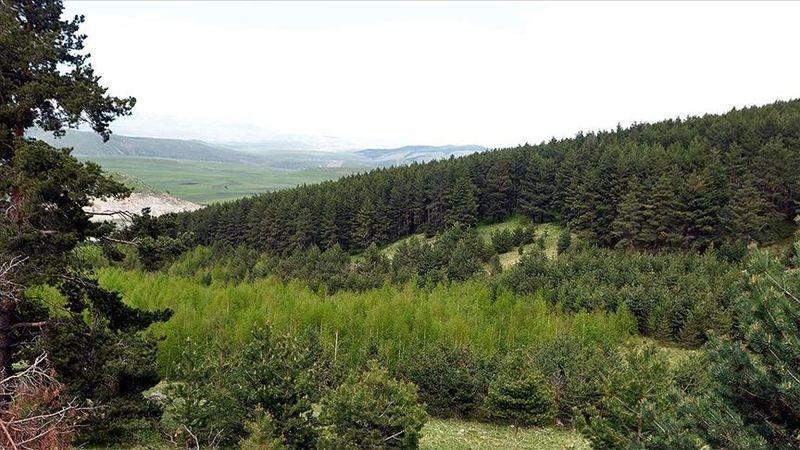 Yaban hayatına ev sahipliği yapan 'sarıçam ormanları' gençleştiriliyor