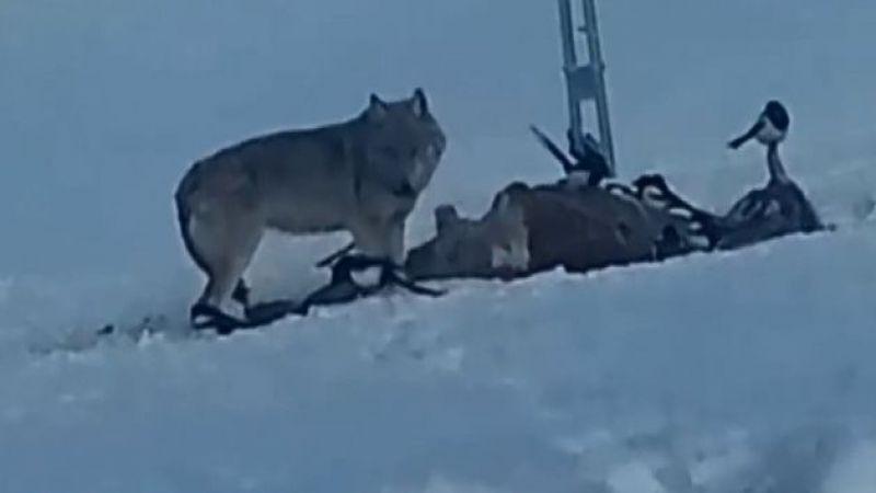 Çoban köpeğinin kurtlarla dansı
