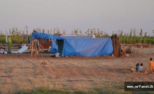 Pamuk işçileri çadırları kurdu