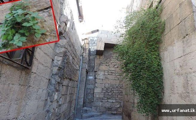 Tarihi sokakların duvarında yeşeren çiçekler