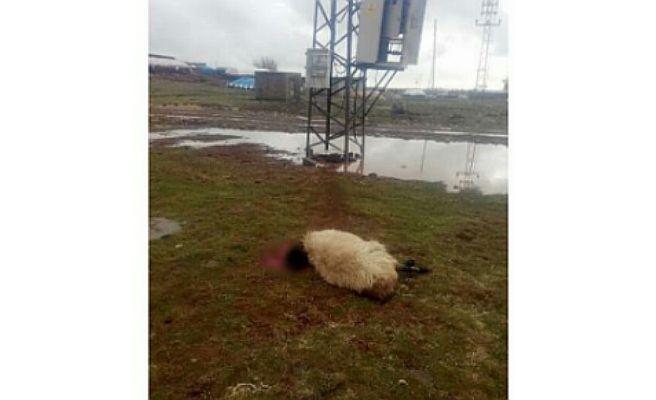 Urfa'da elektrik akımına kapılan koyunlar telef oldu