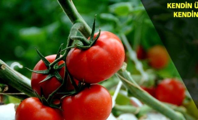 Rusya'nın domates planı ortaya çıktı