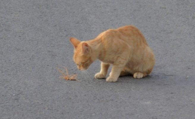 Et Yiyen Örümcek ile Kedinin Ölüm Kalım Mücadelesi