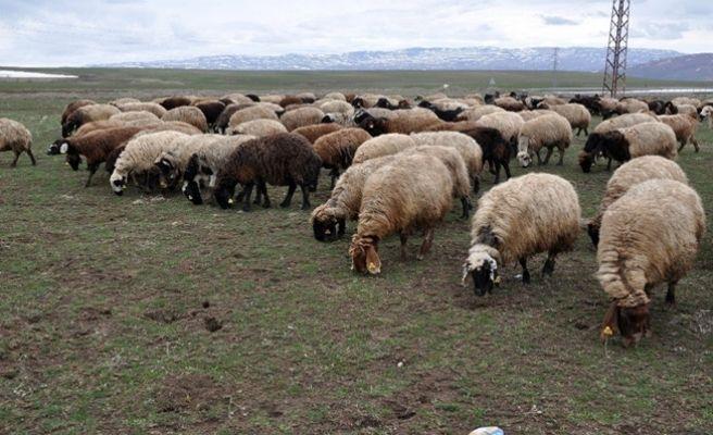 6 Bin TL Maaşla Çoban Aranıyor