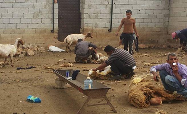 Urfa'da besiciler koyunları Kırkmaya Başladı