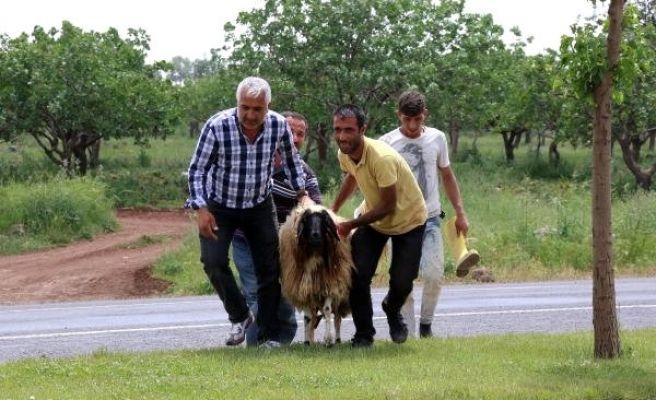 Temel Atma Töreninde Kesilecek Koyun Kaçtı