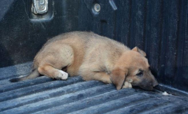 Savaştan Kaçan Sokak Köpekleri Toplanıyor