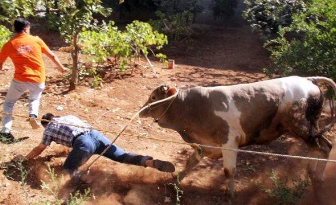 Şanlıurfa'da Kaçan Boğayı Kurban Timi Yakaladı