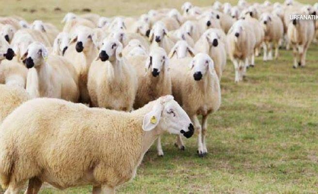 TİGEM'den Flaş 300 Koyun Açıklaması
