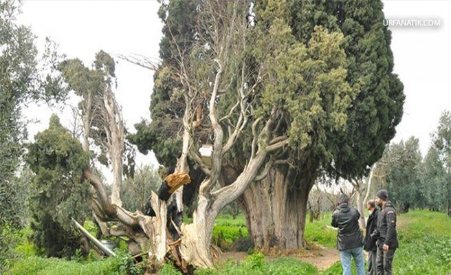 700 Yıllık Ağaçları Yakıp, Kestiler
