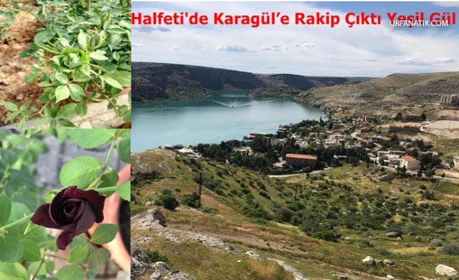 Halfeti'de Karagül'e Rakip Çıktı Yeşil Gül