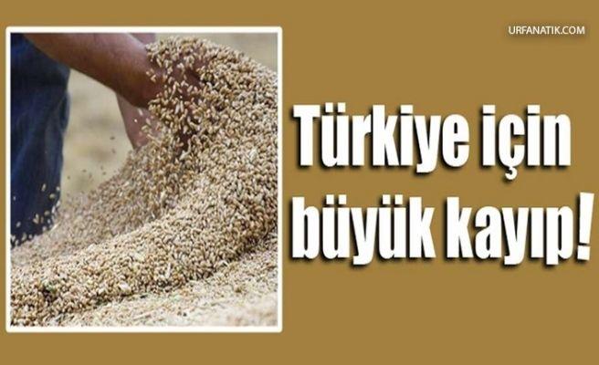 Şanlıurfa'da Buğday Tohumunda Büyük Kayıp!